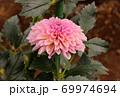 「ティアラ」という名のダリア 69974694