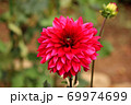「アテネ」という名のダリア 69974699