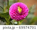 「桜蛍(さくらぼたる)」という名のダリア 69974701