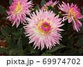 「優萌(ゆめ)」という名のダリア(1) 69974702