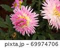 「優萌(ゆめ)」という名のダリア(3) 69974706