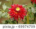 「秋田の光」という名のダリア(2) 69974709