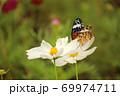 白いコスモスに飛来した蝶 69974711