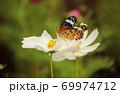 白いコスモスに止まって蜜を吸う蝶 69974712