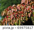 ハナミズキの赤い実と紅葉した葉 69975817