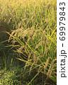秋の実のり黄金色の田んぼの稲穂 69979843