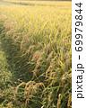 秋の実のり黄金色の田んぼの稲穂 69979844