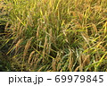 秋の実のり黄金色の田んぼの稲穂 69979845