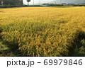 秋の実のり黄金色の田んぼの稲穂 69979846