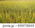 秋の実のり黄金色の田んぼの稲穂 69979849