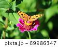 タテハモドキ 69986347