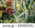 栗の木 栗の実 アップ 69990561