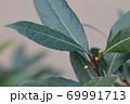 ゲッケイジュの冬芽と花の蕾 69991713