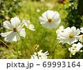 白いコスモス 69993164