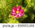 コスモス 69993168