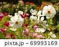 白いコスモス 69993169