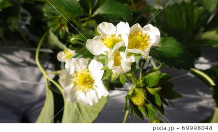 【春のイメージ】イチゴ畑と白い花 69998048