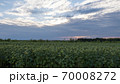 Field of sunflowers at sunset. The sunflower flowers lowered their heads to the ground. 70008272