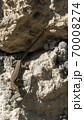 Lizard on a rock. Reptile basking in the sun. 70008274