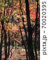 錦秋の林、木々のシルエットと黄葉のバランスが良い秋風景 70020395