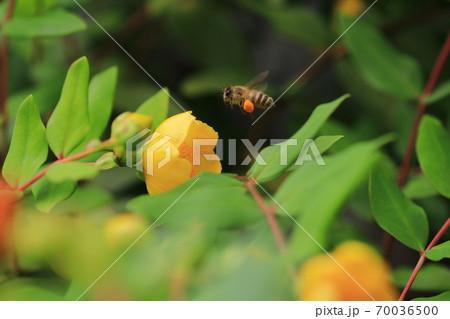 蜂 70036500