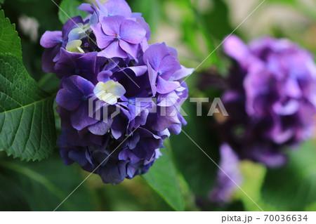 紫陽花 70036634