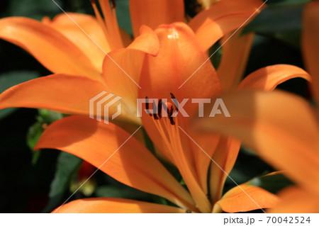 百合の花 70042524