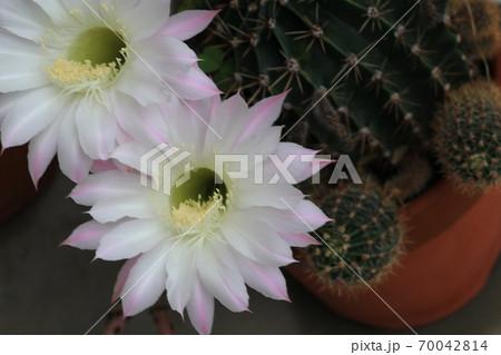 サボテンの花 70042814
