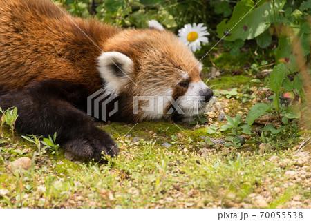 居眠りをするレッサーパンダ 70055538