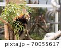 木に登るレッサーパンダ 70055617