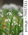 スノードロップの花畑 70057331