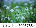スノードロップの花畑 70057334