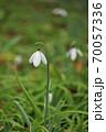 スノードロップの花畑 70057336