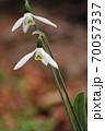 ハートの形をのぞかせたスノードロップの花 70057337