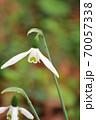 ハートの形をのぞかせたスノードロップの花 70057338