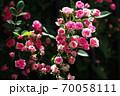 バラ 咲き揃ったミニバラの花 70058111
