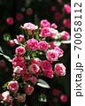 バラ 咲き揃ったミニバラの花 70058112