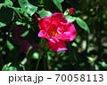 バラ ミニューズの花 70058113