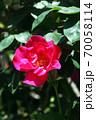 バラ ミニューズの花 70058114
