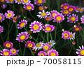 マーガレット クーデルスタートの花 70058115