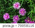雨上りに咲く、マツバギクの花 70058116