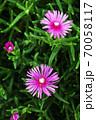 雨上りに咲く、マツバギクの花 70058117