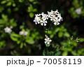 ムシトリナデシコ 白い花 70058119