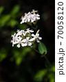 ムシトリナデシコ 白い花 70058120