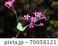 ムシトリナデシコ 紅い花 70058121