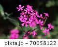 ムシトリナデシコ 紅い花 70058122