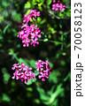 ムシトリナデシコ 紅い花 70058123