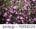 乱れ咲く、アグロステンマの花 70058124