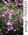 乱れ咲く、アグロステンマの花 70058125