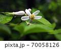 雨上りに咲く、ザボンの花 70058126